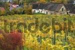 Thumbnail autumn colored vineyard in Hartberg Styria Austria