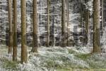 Thumbnail firwood with hoarfrost
