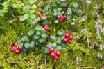 Thumbnail Cranberries (Vaccinium vitis-idaea), Sweden, Scandinavia, Europe