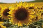 Thumbnail Sunflower field in Rhine Hesse, Rhineland-Palatinate, Germany, Europe
