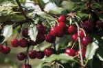 Thumbnail Sour cherries (Prunus cerasus)