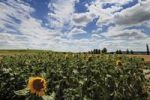 Thumbnail Sunflower field in Rhine Hesse, Rhineland-Palatinate, Germany, Europe