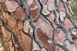 Thumbnail Bark of a fir tree (Pinus), Corsica, France, Europe