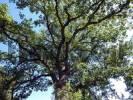 Thumbnail bend oak