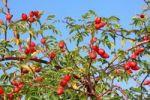 Thumbnail Rose hips, fruits of the wild rose or dog rose (Rosa corymbifera)