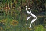 Thumbnail Great Egrets (Casmerodius albus), standing in the backwaters of a river