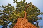 Thumbnail Old oak tree (Quercus robur), worm's-eye view