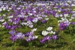 Thumbnail Spring crocus, Giant Dutch crocus (Crocus vernus hybrids), purple and white croci or crocuses flowering on a crocus meadow in spring
