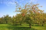 Thumbnail Meadow in autumn with scattered fruit trees, such as apple trees and pear trees