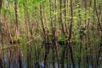 Thumbnail Carr or swamp forest with standing water in spring, Mecklenburg-Western Pomerania, Germany, Europe