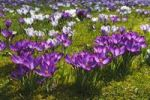 Thumbnail Flowering purple and white Crocuses (Crocus vernus hybrids) on a crocus meadow in spring
