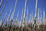 Thumbnail Vineyard, steep slope, heart-shaped vines, Moselle, Rhineland-Palatinate, Germany, Europe