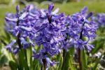 Thumbnail Flowering Hyacinths (Hyacinthus)