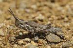 Thumbnail Ochrophlebia, Cone-headed Grasshopper (Pyrgomorphidae), Goegap Nature Reserve, Namaqualand, South Africa, Africa