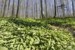 Thumbnail Field of wild garlic (Alium ursinum) in a mountain forest, in Neubeuern, Bavaria, Germany, Europe