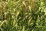 Thumbnail mouse barley Hordeum murinum Perchtoldsdorf heathland Lower Austria