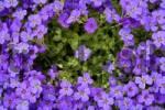 Thumbnail Greek aubretia Aubrieta deltoidea