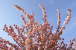 Thumbnail Flowering Japanese cherry (Prunus serrulata), France, Europe