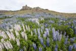 Thumbnail Landscape with Nootka lupins (Lupinus nootkatensis), Iceland, Europe