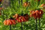 Thumbnail flowering fritillary Rubra Maxima - crown imperial Rubra Maxima Fritillaria imperialis Rubra Maxima