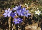 Thumbnail Common hepatica, liverwort (Anemone hepatica), Bavaria, Germany, Europe