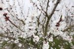 Thumbnail Apricot blossoms, flowering apricot tree (Prunus armeniaca), Wachau valley, Waldviertel region, Lower Austria, Austria, Europe
