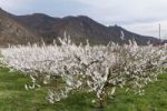 Thumbnail Apricot trees in blossom, flowering apricot trees (Prunus armeniaca), Aggstein castle ruin at the back, Wachau valley, Waldviertel region, Lower Austria, Austria, Europe