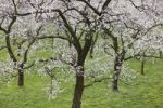 Thumbnail Apricot trees in blossom, flowering apricot trees (Prunus armeniaca), Arnsdorf, Wachau valley, Mostviertel region, Lower Austria, Austria, Europe
