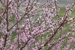 Thumbnail Flowering peach tree (Prunus persica), Wachau valley, Mostviertel region, Lower Austria, Austria, Europe