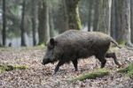 Thumbnail Wild boar (Sus scrofa)