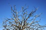 Thumbnail Bare branches of a dead tree reaching to a bright blue sky, Utah, United States
