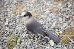 Thumbnail Gray Jay, also Grey Jay, Canada Jay, or Whiskey Jack (Perisoreus canadensis), Yukon Territory, Canada