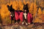 Thumbnail Pack dogs, sled dogs, Alaskan Huskies with back packs, Quaking Aspen, Trembling Aspen (Populus tremuloides) behind, leaves in fall colours, Indian Summer, near Fish Lake, Yukon Territory, Canada,