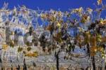 Thumbnail ice covered vineyard, Klausen, South Tyrol, Italy
