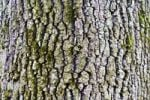 Thumbnail Trunk, bark of an oak (Quercus)