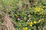 Thumbnail Goosander or Common Merganser chicks (Mergus merganser), one day, between marsh marigold flowers, Allgaeu, Bavaria, Germany, Europe