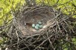 Thumbnail Nest and eggs of the Carrion Crown (Corvus corone corone), Allgaeu, Bavaria, Germany, Europe