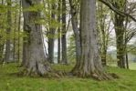Thumbnail Old beech trees (Fagus) with young leaves, Parsberger Hoehe, Fischbachau, Upper Bavaria, Bavaria, Germany, Europe