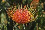 Thumbnail Pincushion Protea (Leucospermum cordifolium), Western Cape Province, South Africa, Africa
