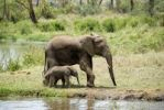 Thumbnail Large and small African elephant (Loxodonta africana), female adult with young at waterhole in Seronera, Serengeti National Park, Tanzania, East Africa, Africa
