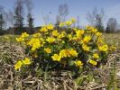 Thumbnail Marsh marigold (Caltha palustris), Upper Bavaria, Bavaria, Germany, Europe