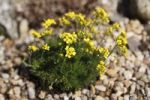 Thumbnail Yellow Whitlowgrass (Draba aizoides), garden plant, Bavaria, Germany, Europe