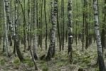 Thumbnail Birch plantation area, birch trees (Betula), with tree fungus in spring, Moenchbruch nature reserve, Hesse, Germany, Europe