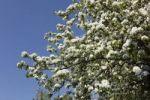 Thumbnail European pear tree (Pyrus communis), blooming, Franconian Switzerland, Upper Franconia, Franconia, Bavaria, Germany, Europe