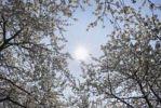 Thumbnail Wild cherry trees in blossom, sweet cherry (Prunus avium), Franconian Switzerland, Upper Franconia, Franconia, Bavaria, Germany, Europe