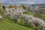 Thumbnail Cherry trees in blossom, Roedlas, municipality of Neunkirchen am Brand, Franconian Switzerland, Upper Franconia, Franconia, Bavaria, Germany, Europe