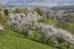 Thumbnail Cherry trees in blossom, Roedlas, municipality of Neunkirchen am Brand, Franconian Switzerland, Upper Franconia, Franconia, Bavaria, Germany, Europe