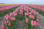 Thumbnail Tulip field (Tulipa), Island of Texel, Holland, The Netherlands, Europe