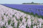 Thumbnail Hyacinth field (Hyazinthus), Island of Texel, Holland, The Netherlands, Europe
