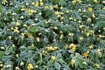 Thumbnail crowfoot Ranunculus in hoarfrost Lower Austria Austria